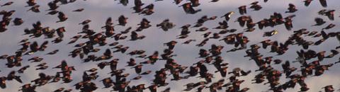 ct-rwbb-flock.jpg